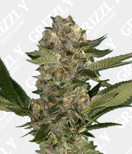 Biscotti 2.0 Feminized Seeds