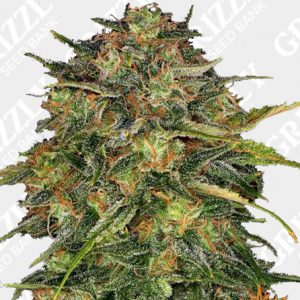 CHEESE™ Feminized Seeds