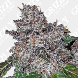 Rainbow Cake Feminized Seeds