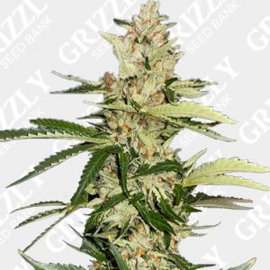 Banana Candy Krush Feminized Seeds