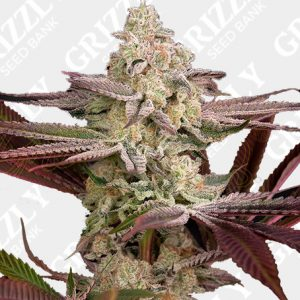 Chemical Bride Feminized Seeds