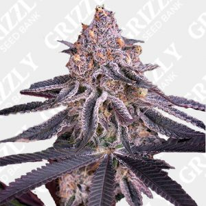 Kings Juice Feminized Seeds