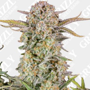 Bruce Banner Auto Seeds