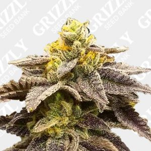 Double Grape Feminized Seeds