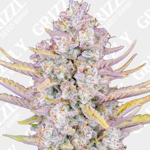 Purple Punch Auto Seeds