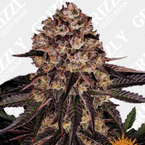 BISCOTTI MINTZ™ Feminized Seeds