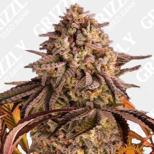 BLUE SUNSET SHERBERT™ Feminized Seeds