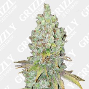 Di Frutti Feminized Seeds