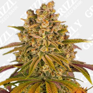 LEMON TREE™ Feminized Seeds