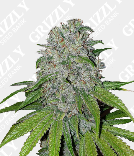 Mango Lassi Feminized Seeds