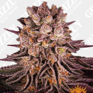 MIMOSA X ORANGE PUNCH™ Feminized Seeds