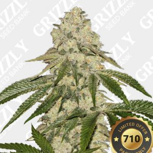 Pisthash Feminized Seeds