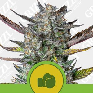 Purple Punch Automatic Seeds