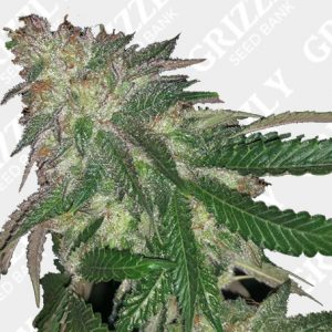 Kuntz Feminized Seeds