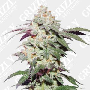 Skywalker Haze® Feminized Seeds