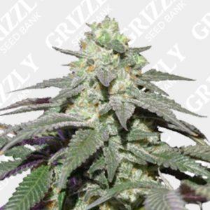 Auto Skywalker Haze® Seeds